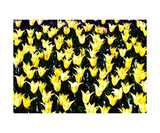 Yellow Tulips Photographic Print by Glenn Aker