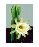 Cactus Flower Photographic Print by Glenn Aker