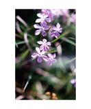 Lavender Phlox Photographic Print by Glenn Aker
