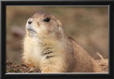 Black-Tailed Prarie Dog (Close-U) Art Poster Print Posters