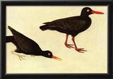Audubon Black Oystercatcher Bird Art Poster Print Prints