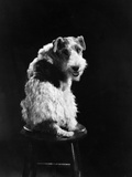 Dog Star Photographic Print by Hulton Archive