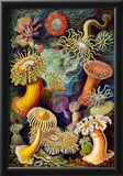 Actiniae Nature Art Print Poster by Ernst Haeckel Posters