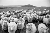 Sheep's Eyes Photographic Print by Raymond Kleboe