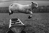 Jumping Lamb Fotografisk tryk af Fox Photos