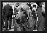 Bloodhound in NYPD K9 Unit Photo