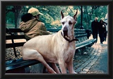 Great Dane on Central Park Bench NYC Prints