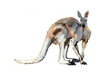 Roo, (Red Kangaroo), 2012 Giclee Print by Mark Adlington