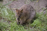 Quokka Photographic Print by  ozflash