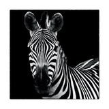 Zebra II Square Prints by Debra Van Swearingen