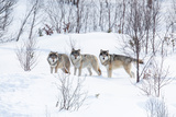 Three Wolves in the Snow Photographic Print by  kjekol