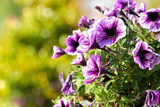 Petunias Photographic Print by  Piyaphat