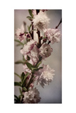 Blossoming Almond 1 Premium Giclee Print by Julie Greenwood