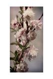 Blossoming Almond 1 Lámina giclée de primera calidad por Julie Greenwood