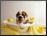 Bulldog Puppy in Miniature Bathtub Mounted Photo by Larry Williams