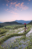 Vietnam, Sapa. Red Dao Woman on Rice Paddies at Sunrise (Mr) Photographic Print by Matteo Colombo