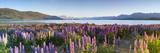 Wild Lupins, Lake Tekapo, Mackenzie Country, Canterbury, South Island, New Zealand Fotografisk tryk af Doug Pearson