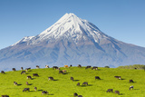 Mount Taranaki (Egmont) and Grazing Dairy Cows, Taranaki, North Island, New Zealand Photographic Print by Doug Pearson