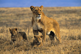 Lioness and Cubs, Ngorongoro Crater, Tanzania Photographic Print by Paul Joynson Hicks