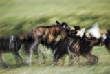 Wild Dogs Feeding on Young Wildebeeste , Piyaya, Tanzania Photographic Print by Paul Joynson Hicks