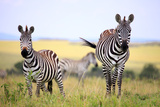 Grevy Zebra (Equus Grevyi), Maasai Mara National Reserve, Kenya Photographic Print by Ivan Vdovin