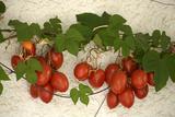 Vine Tomatoes, Mirtos, Crete, Greece, Europe Photographic Print by Christian Heeb