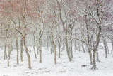 Fortunato Gatto - Uk, Scotland, Highlands, Braemar, Forest in Snow - Fotografik Baskı