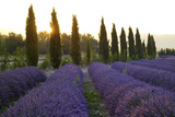 Lavender Field Near Roussillion, Provence Alpes Cote D'Azur, Provence, France, Europe Photographic Print by Christian Heeb