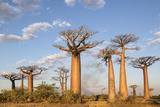 Madagascar, Morondava, Les Alla Des Baobabs at Sundown Fotografisk tryk af Roberto Cattini