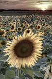 France, Centre Region, Indre-Et-Loire, Sainte Maure De Touraine, Sunflowers in Sunflower Field Photographic Print by Alan Copson