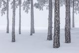 Riccardo Rimondi - Italy, Emilia Romagna, Pines in Snow - Fotografik Baskı