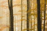 Italy, Veneto, Beech Trees Photographic Print by Andrea Pavan