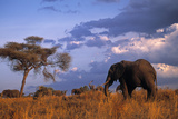 Bull Elephant, Ruaha National Park, Sw Tanzania Photographic Print by Paul Joynson Hicks