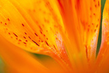 Italy, Friuli Venezia Giulia, Lilium Bulbiferum or Orange Lily Photographic Print by Diana Crestan