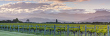 Picturesque Vineyard Illuminated at Sunset, Blenheim, Marlborough, South Island, New Zealand Photographic Print by Doug Pearson
