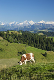 Grazing Cows, Emmental Valley and Swiss Alps in the Background, Berner Oberland, Switzerland Lámina fotográfica por Jon Arnold