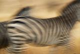 Zebra Walking in Tarangire National Park, Tanzania Photographic Print by Paul Joynson Hicks