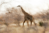 Giraffe in Ruaha National Park, Tanzania Photographic Print by Paul Joynson Hicks