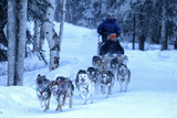 Sled Dog, Chena Hot Springs, Fairbanks, Alaska, Usa Photographic Print by Christian Heeb
