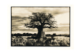 Baobab Tree in Ruaha National Park, Southern Tanzania Photographic Print by Paul Joynson Hicks
