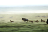 Wild Dogs Hunting Wildebeeste , Piyaya, Tanzania Photographic Print by Paul Joynson Hicks