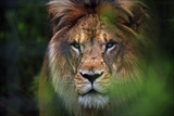 Portrait of a Lion Furrowing His Mane in a Forest at a Sanctuary for Big Cats Fotodruck von Steve Raymer