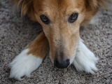 Close Up Portrait of a Mixed Breed Collie Resting His Head on His Crossed Front Feet Photographic Print by Amy and Al White and Petteway