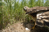 A Female Northern Harrier Hawk with Her Chick and an Egg in their Nest Photographic Print by Michael Forsberg