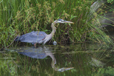 A Great Blue Heron Wades at the Edge of a Pond Near the Occoquan River in Northern Virginia Photographic Print by Kent Kobersteen