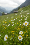 Wildflowers in a Protected, Un-Fertilized Meadow. This Valley Is Famous for its Biodiversity Photographic Print by Ulla Lohmann