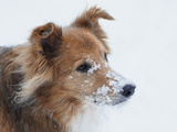 Close Up Portrait of a Mixed Breed Collie Dog with Snow on His Muzzle Photographic Print by Amy and Al White and Petteway