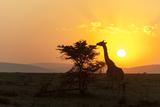 A Masai Giraffe, Giraffa Camelopardalis Tippelskirchi, Browsing at Sunset Fotografisk tryk af Sergio Pitamitz