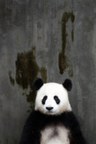Portrait of a Seated Giant Panda, Ailuropoda Melanoleuca Photographic Print by Sean Gallagher