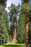 View of the Largest Tree in the World, Named General Sherman Photographic Print by Stacy Gold